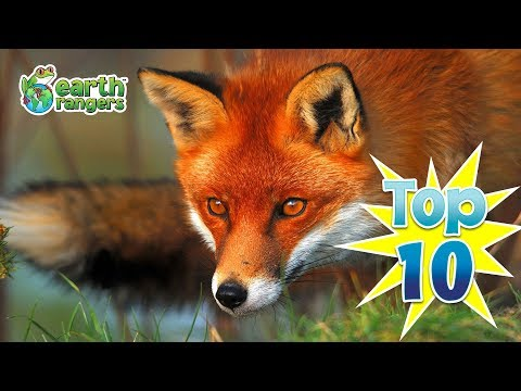 Top 10: Fun Fox Facts