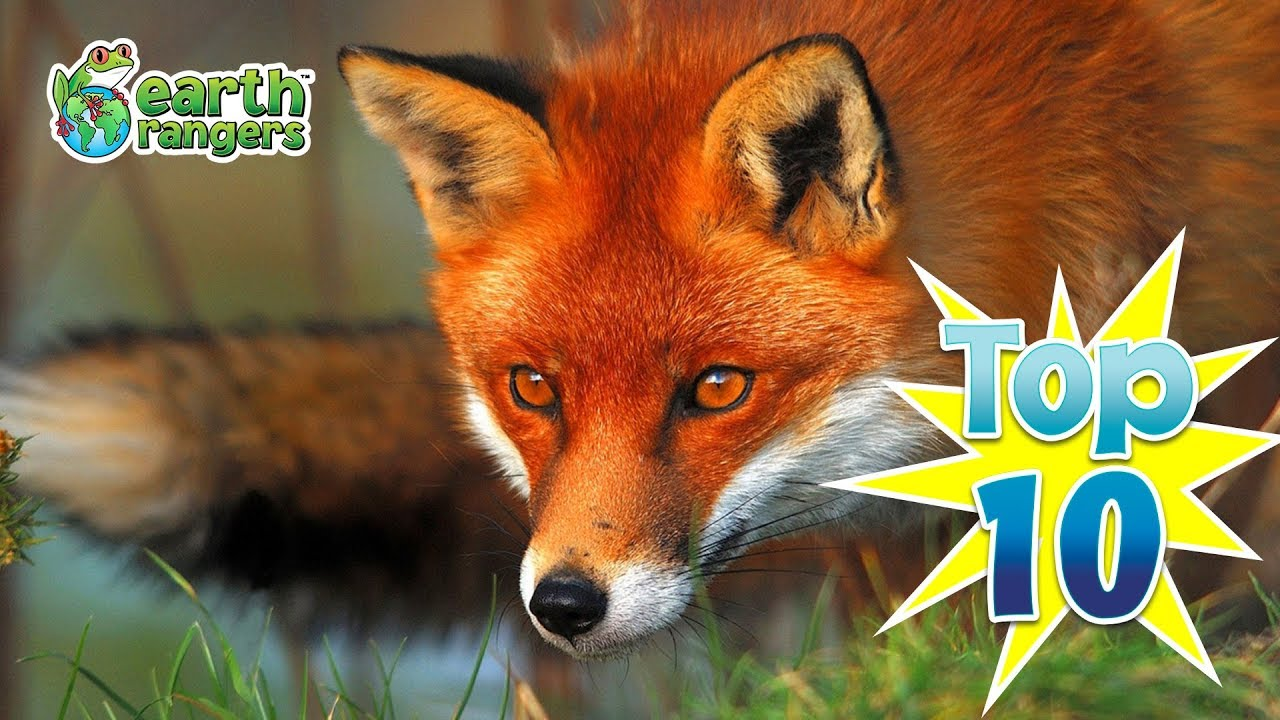 Top 10: Fun Fox Facts - YouTube