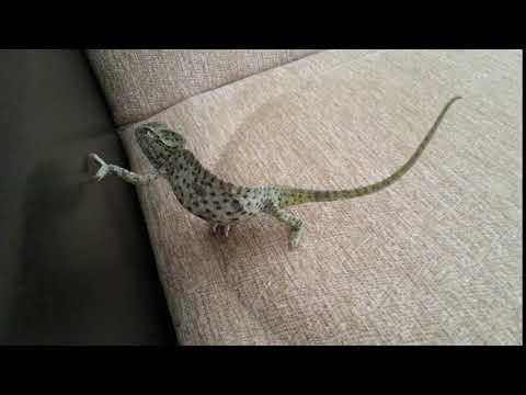 Adi bukalemun ( Common Chameleon)