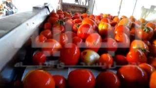 بالفيديو والصور.. بلاغ للنائب العام: شركة مواد غذائية شهيرة تُصنع «الصلصة والكاتشب» من طماطم فاسدة
