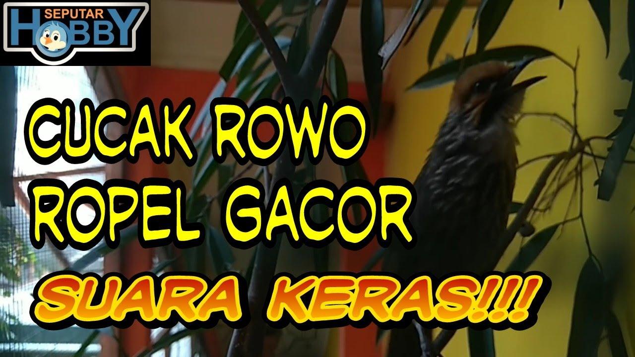 Indukan Cucak Rowo Full Gacor Nada Tinggi Kandang No 5 Full Hd Youtube