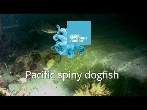 Pacific Spiny Dogfish In Campbell River