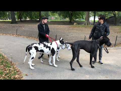 3 Huge Great Danes in Central Park NY