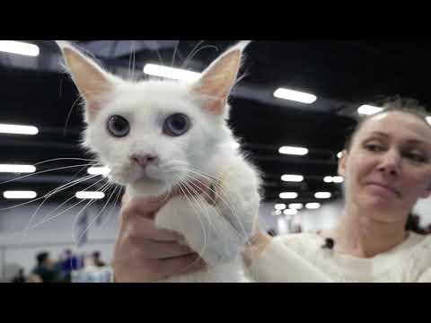 Как купить котёнка \Зачем и как ходить на выставку кошек\ сокольники выставка кошек 2020