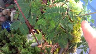 Mimosa pudica plant with flower