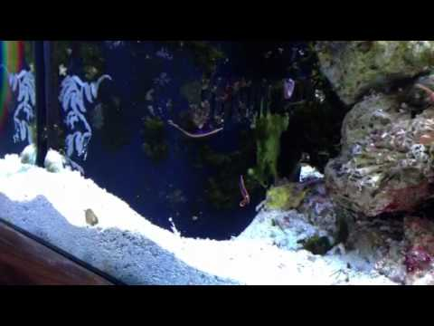 My New Blue Stripe Pipefish P
