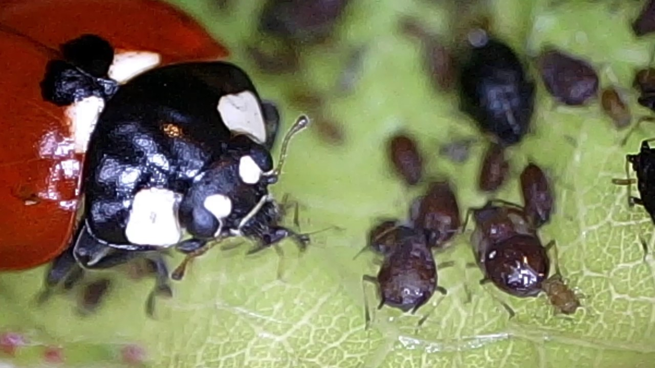 And yet, what do ladybugs eat