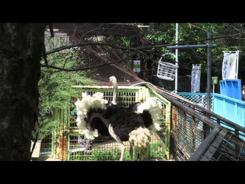「ダチョウの求愛ダンス」 野毛山動物園 (2014/04/09)