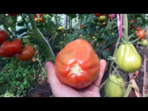 спрут f1 помидоры фото