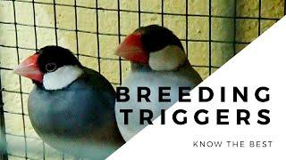 Triggers of java sparrow breeding