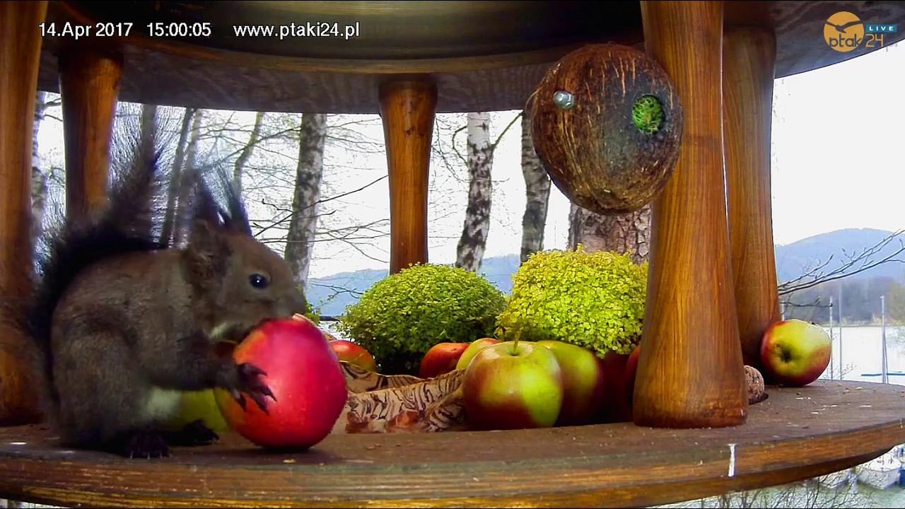 Wiewiórka zajada jabłko w karmniku dla ptaków nad Soliną