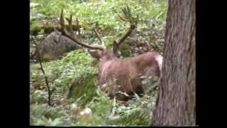 Králˇov príchod na rujoviská jelenia ruja cinty mpg