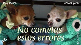Cuidados y características del perro chihuahua   Selena Mendivil