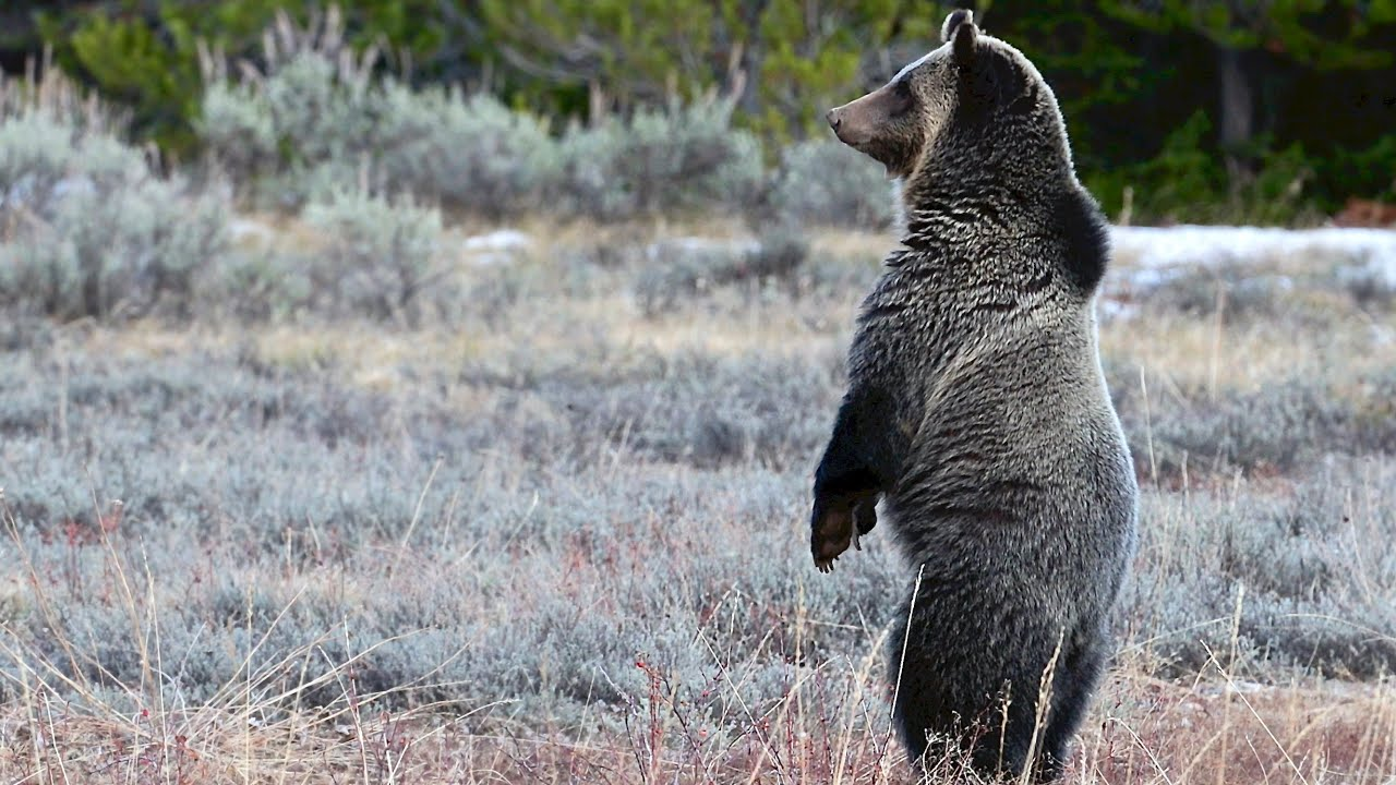 Wildlife Photography-Watch a Grizzly Bear get HAZED away from the road-Jackson Hole/Grand Teton Park