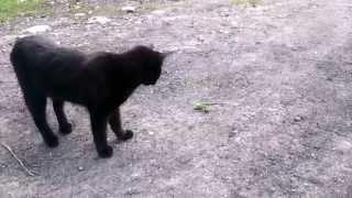Охота на кошку