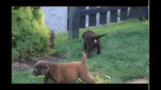 Chocolate Labrador Retriever Puppies For Sale