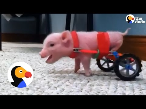 Pig Gets New Wheelchairs from his Dad   The Dodo