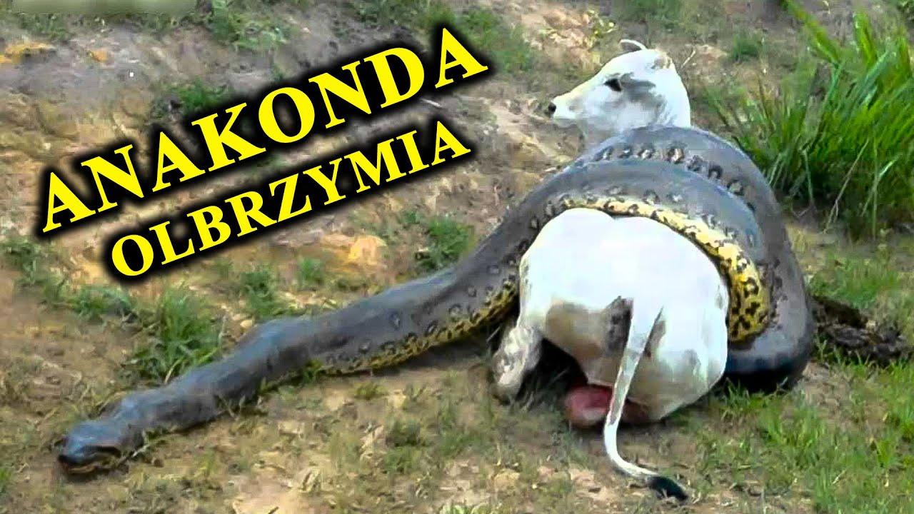 Czy Anakonda Może Połknąć Krowę? Jaki Był Największy Wąż Świata?