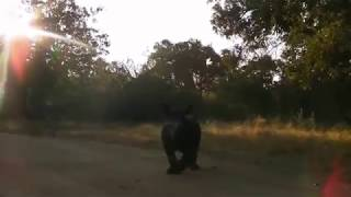 Gertjie the orphaned rhino chasing ostriches in the morning sunlight