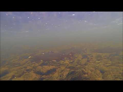 Forth Rivers Trust - River Wildlife - Salmon In The Teith