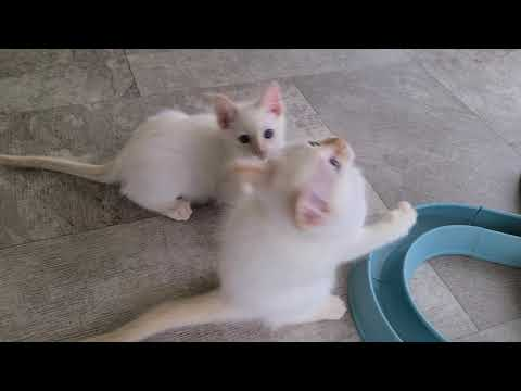 Keenas Red Point Siamese