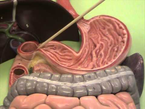 Digestive System Models - YouTube