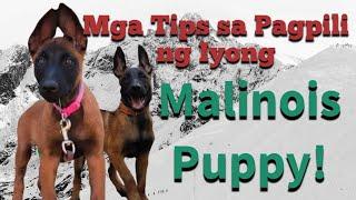 Belgian Malinois - Choosing a Puppy