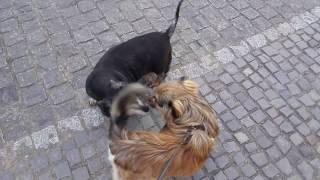 VLOG: Прогулка с собакой \ Арчи чуть не сбежал