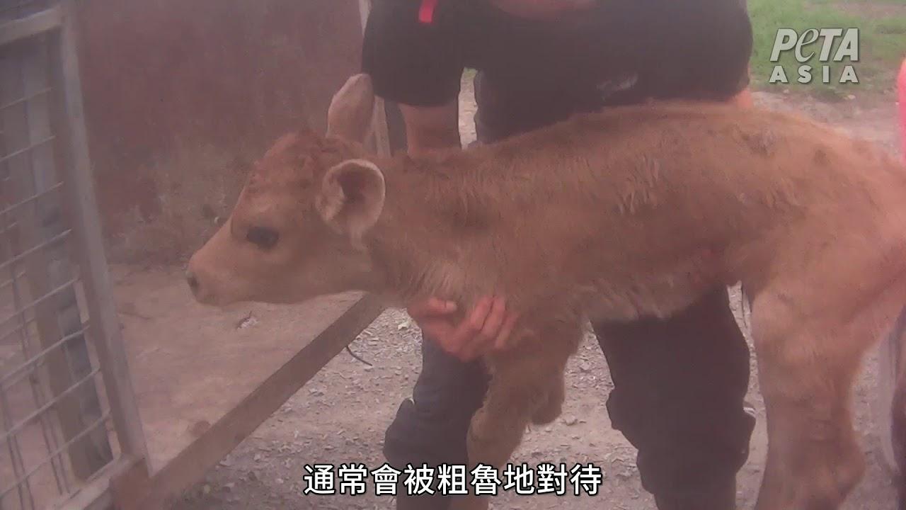 【澳洲牛奶醜聞--殘忍食品銷向全球】國語配音|PETA揭露奶牛農場黑幕