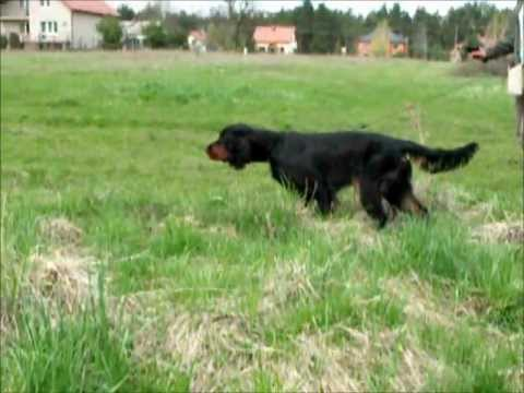 Gordon Setter- Field Trial Training