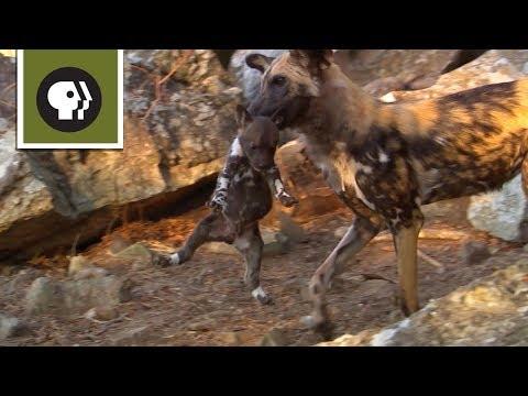 Chó Hoang 1 Tuổi Bắt Các Em Làm Con Tin