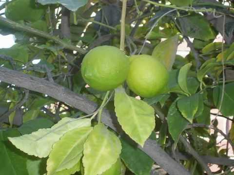 Arboles frutales youtube for Arbol con raices y frutos