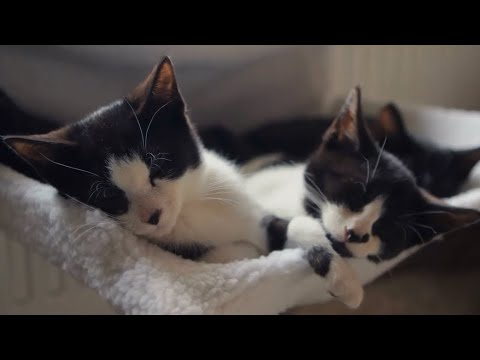 Information About American Bobtail Cat #CatVideos