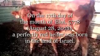 פרה אדומה נולדה בצפון הארץ