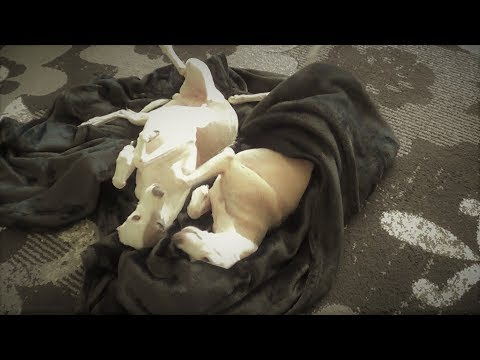 Italian Greyhound SpArKle LOVES NeW BLANKIES & PILLOWS _ Watch if u need a smile