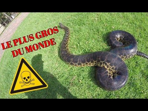 Avoir Un Anaconda Geant, Possible?