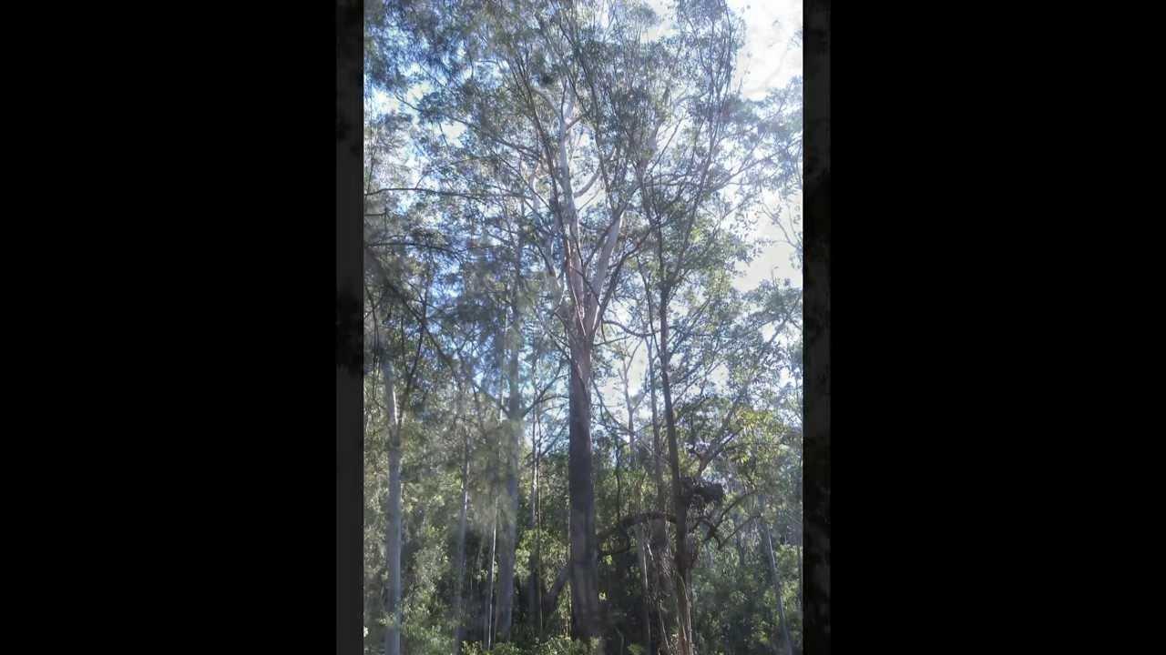 Plant ID: Blackbutt (Eucalyptus Pilularis)