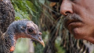 Learning the Language of Turkeys | BBC Earth