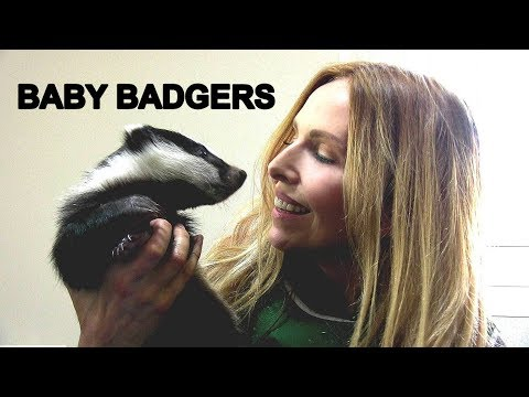 BABY BADGERS UP CLOSE at Secret World Animal Rescue