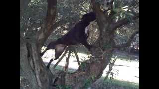 American Pit Bull Terrier Ukc