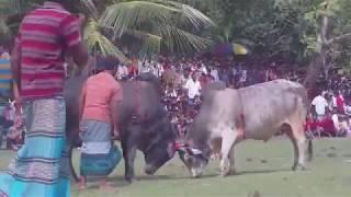 ষাঁড়ের লড়াই Bangla Sharer Lorai