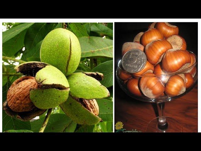 Зимостойкие сорта орехов: фундук Крупноплодный и грецкий орех Саратовский идеал