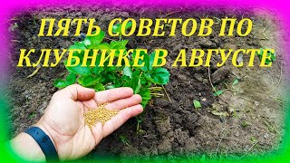 ПЯТЬ советов по садовой землянике в АВГУСТЕ для большого урожая. Что делать с клубникой в августе.