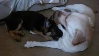 German Shepherd Puppy Vs Labrador