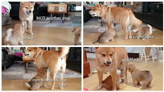 Best of: Daddo do Amgery Ep1 / Shiba Inu puppies