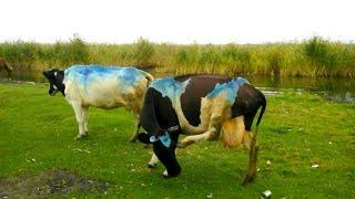 Челябинские коровы настолько суровы... )) / Blue Cows from Chelyabinsk(Ездил на выходных на рыбалку на челябинские озера и там увидел... )) Не знаю, кто это сделал, но коров хозяева..., 2016-09-05T08:58:42.000Z)