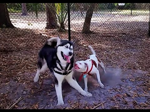 DOG PARK SHENANIGANS with ALASKAN MALAMUTE, PITBULL, SHIBA INU &  A COUPLE MIX BREEDS