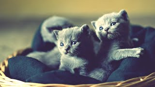 Cute And Adorable Russian Blue Kittens Compilation