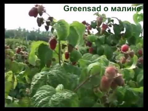 Выращивание малины. Выбор почвы. Внесение удобрений