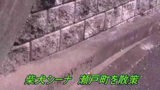 柴犬シーナ 岡山市瀬戸町を散策